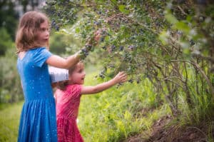 Georgia Mountain Parkway - Little girls looks for the ripe blueberries to pick at Mercier Orchards in Blue Ridge, Georgia