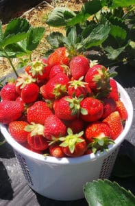 Just-picked Strawberries at Mercier Orchards