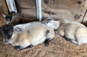 Georgia Mountain Parkway - Sleeping sheep at Hillcrest Orchards in Ellijay, Georgia