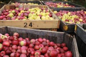 Georgia Mountain Parkway - Crates of just-picked apples at BJ Reece Apple House in Ellijay, Georgia