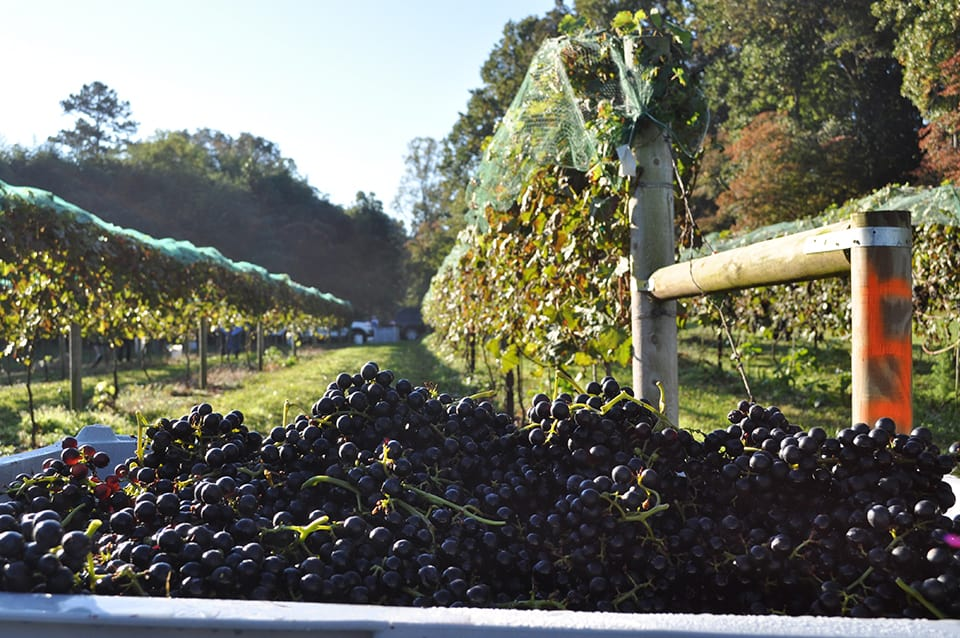Georgia Mountain Parkway - Odom Spring Vineyards in Blairsville, Georgia, prepares the grape harvest